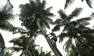 The only way is up … collecting coconuts in Kerala, India.