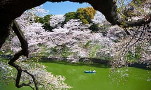 Japan, Tokyo City, Cherry Blossoms at Chidorigafuchi