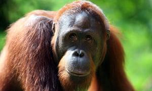 orangutan, Indonesia