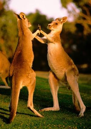 Discover Australia's wildlife on the Great Ocean Walk