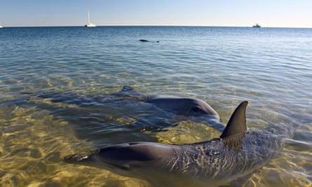 Dolphins, Monkey Mia, Shark Bay, Western Australia