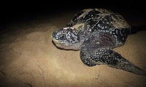 Leatherback Turtle (Dermochelys coriacea)