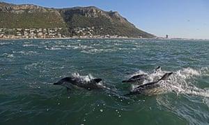 false bay dolphins