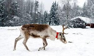 Reindeer in Swedish Lapland Sweden Scandinavia