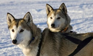 Sled dogs on a sled dog tour in Kiruna, Sweden