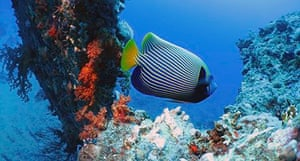 red sea emperor fish