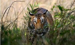 Bengal tigress in Bandhavgarh Tiger Reserve, India