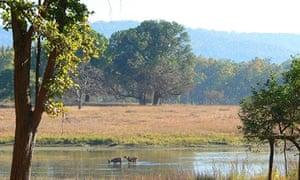 Barasingha deer in the Kanha Tiger Reserve