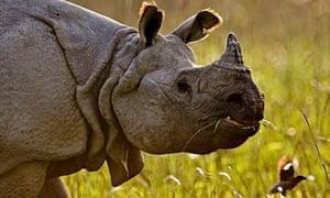 One-horned rhino in Kaziranga national park, India