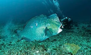 Diver and parrotfish, Gili Trawangan Indonesia.