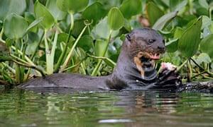 Giant otter in the Pantanal, Brazil