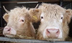 Cows at Farmer Parrs Animal World