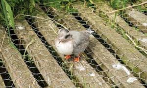 An Arctic tern fledgling wanders across a walkway at Inner Farne
