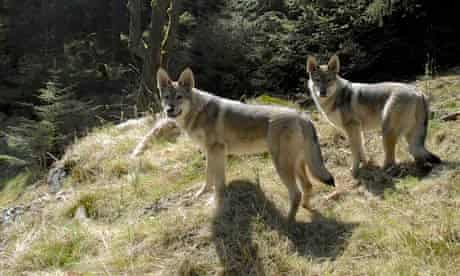 Walking with wolves, Cumbria Cumbria