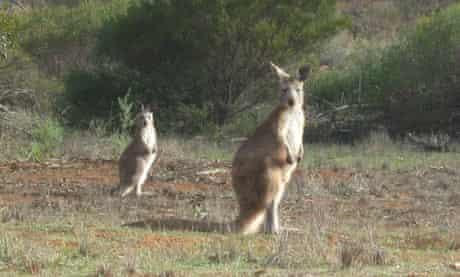Kangaroos, Swagon safari, South Australia