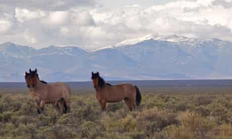 Wild mustangs, Nevada