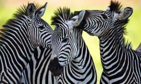 Zebras at Wild Place, Bristol