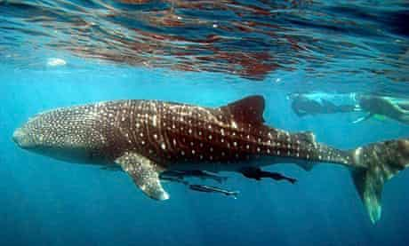 Snorkelling with Whale Sharks at Exmouth, Ningaloo Reef, Western Australia