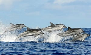 Dolphins swim in the Azores