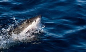 Great White shark off Gansbaai, South Africa