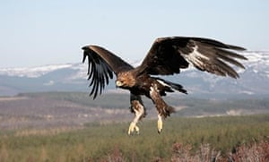 Golden eagle, Cairngorms national park