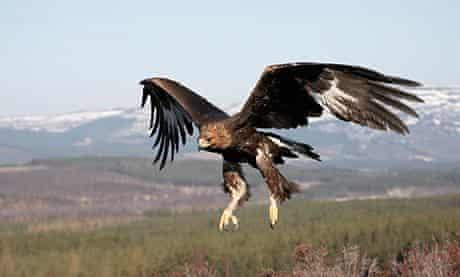 Golden eagle, Cairngorms national park