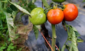 Omerto tomatoes
