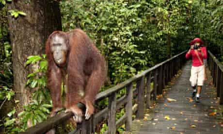 Orangutan at Sepilok rehabilitation centre