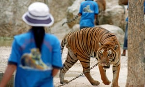 Staff in blue t-shirts walk among the tigers at the Kanchanaburi Tiger Temple in Thailand. Many visi