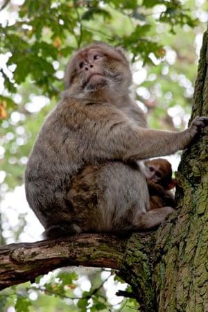 Monkey and baby, Trentham Gardens