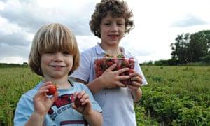 Freshly picked strawberries at Kenyon Hall Farm