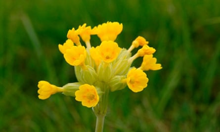 Cowslips in detailed close-up