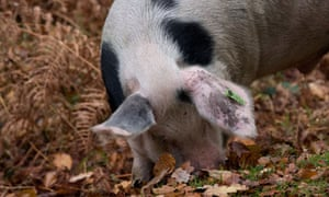 Gloucester Old Spot pigs foraging for acorns in New Forest, Hampshire