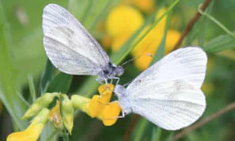 cryptic wood white butterfly