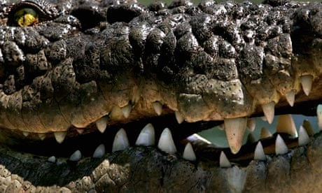 Saltwater crocodile named worlds most aggressive environment saltwater crocodile named worlds most aggressive environment the guardian freerunsca Image collections