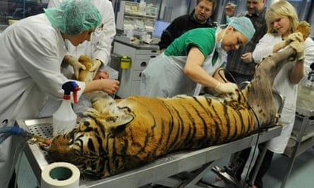 A tiger gets a hip operation at the University of Leipzig