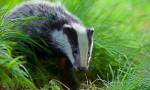 A European badger (Meles meles) in Oxfordshire, England