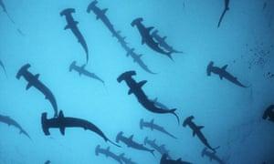 Scalloped Hammerhead Sharks off Cocos Island, Costa Rica