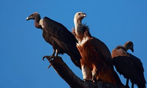Long-billed vultures, Gyps indicus